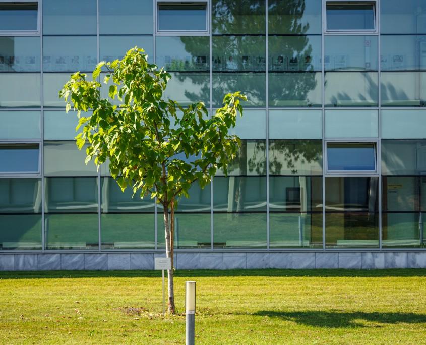 Chinesischer Blauglockenbaum vorm Südtrakt