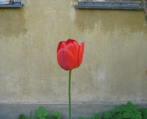 Die Tulpe: Herkunft Türkei | Foto: Hill
