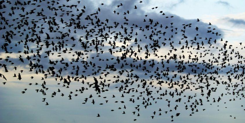 Vogelschwarm am Himmel