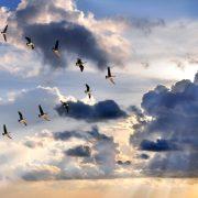 Group of Canadian geese flying in V-formation over sunburst